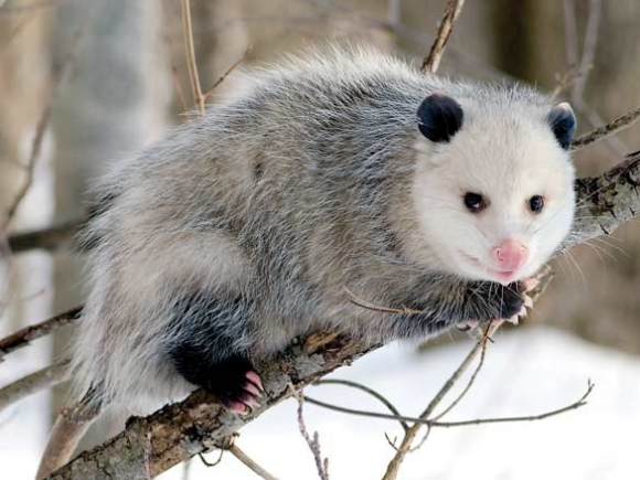 Perhaps 'possums are figuring it out