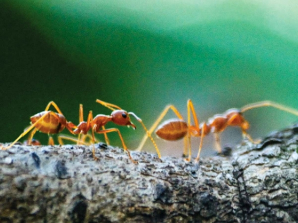March of the ants, explained