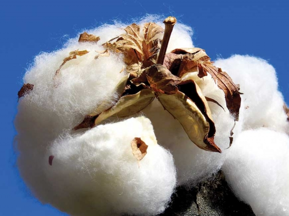 King Cotton. Don Hendershot photo
