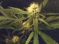 Tribe loosens marijuana laws
