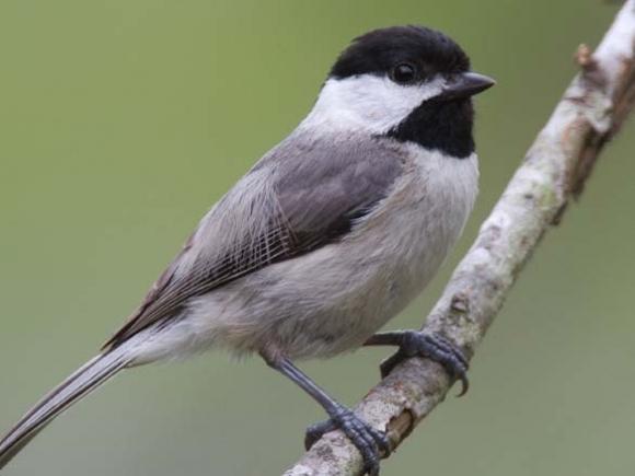The honest little bird