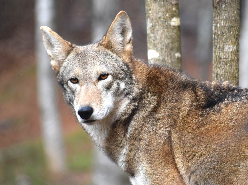 Conservation groups sue over red wolf policy