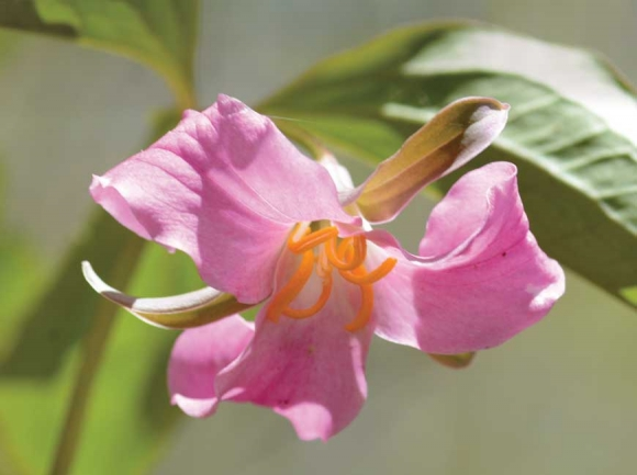 Trillium catesbaei is one of seven trillium species that grows on the property. Holly Kays photo