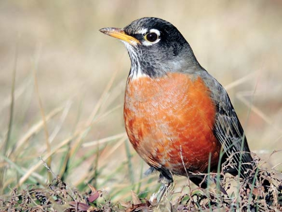 Robin redbreasts are a perennial favorite