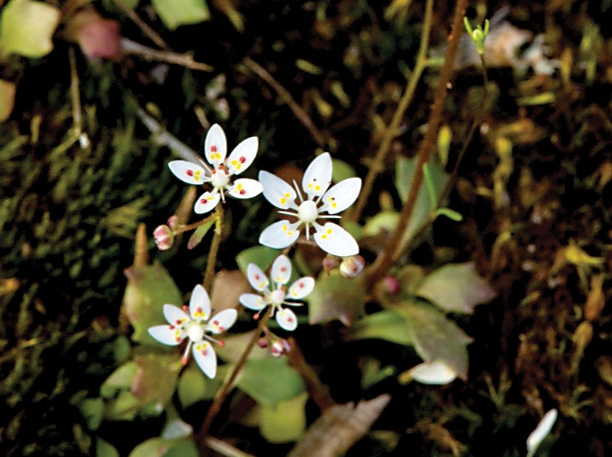 Shealy's saxifrage is a white, delicate flower with yellow and red accents on the petals. Donated photo