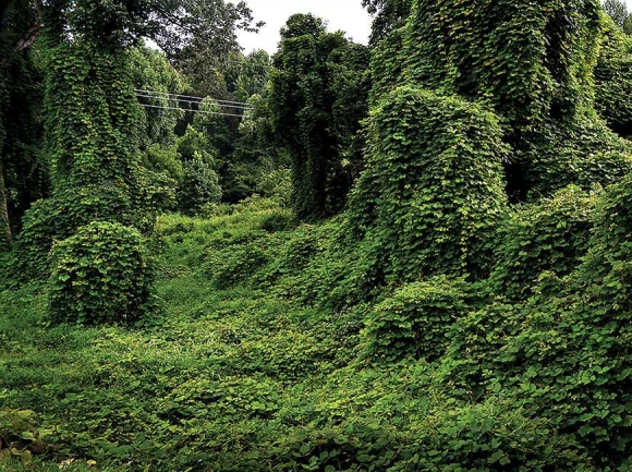Kudzu-covered landscapes like this are a common sight in the South. Donated photo