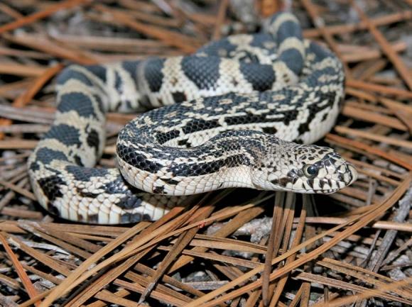 Report pine snake sightings