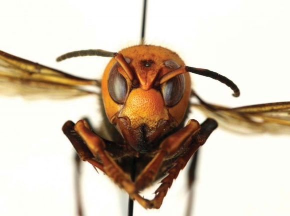 Watch for giant hornets