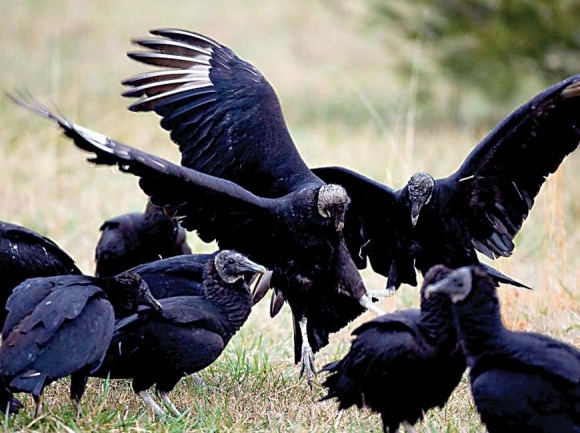Cherokee thought buzzards possessed powers