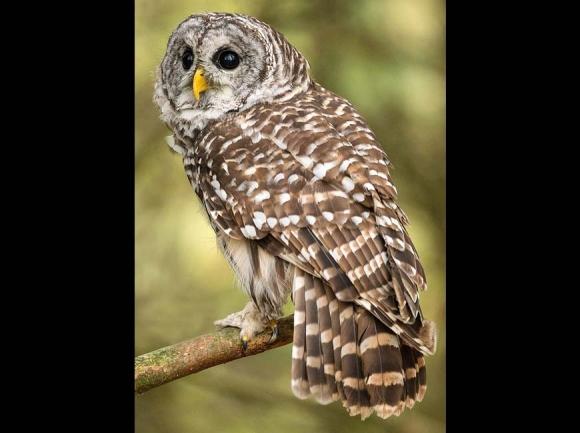 Barred owl. Peter K. Burian photo