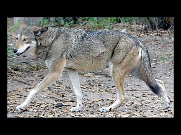Red wolf. creative commons photo