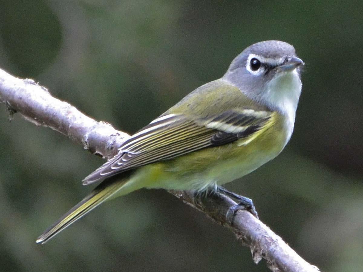 Songbird outbreak is subsiding