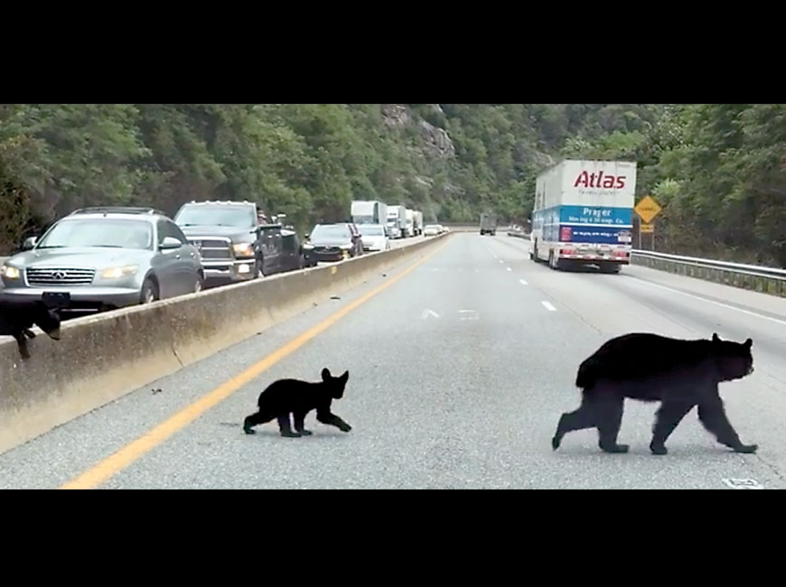 A mother bear and her cubs make a dangerous journey across Interstate 40. Susan Detwiler photo