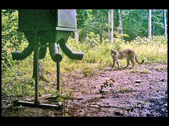 Trail cam pic of a cougar in Tennessee in 2015 (perfect setting to catch one - deer feeder in the foreground). Tennessee Wildlife Resources photo