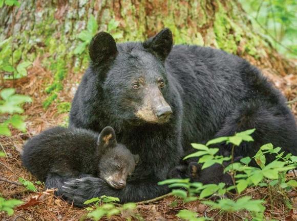 Bear activity reported in Joyce Kilmer-Slickrock