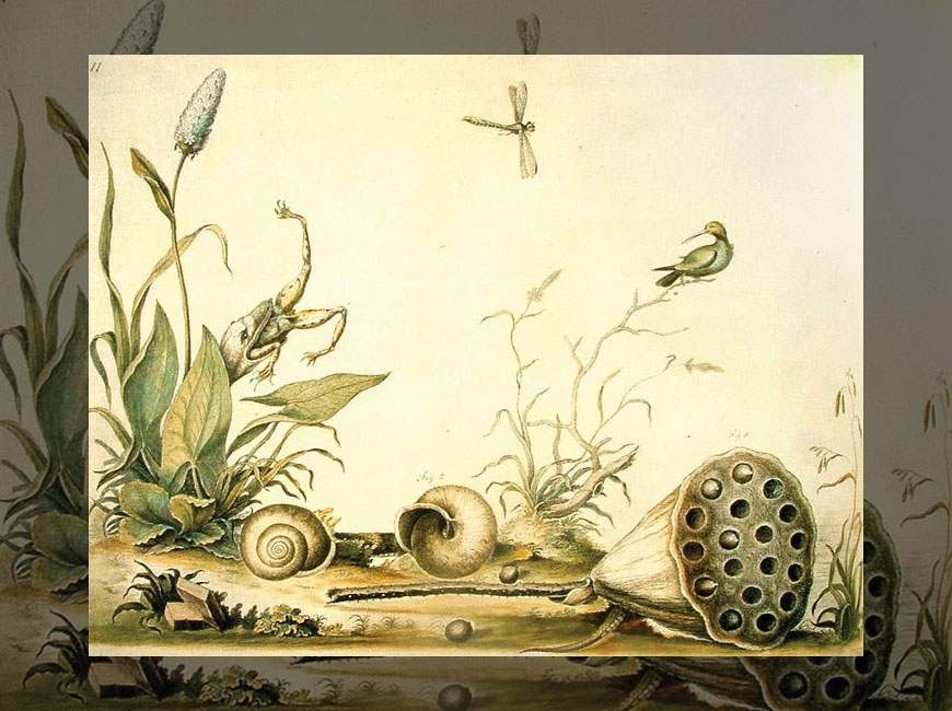 This image from the Museum of Natural History in London is part of the collection  William Bartram painted for John Fothergill in the 1770s. Donated image