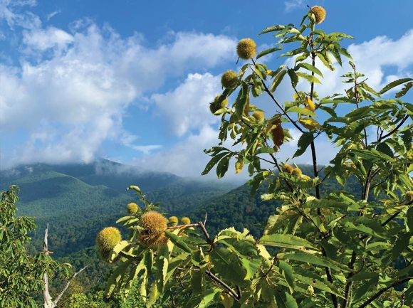 This still-healthy American chestnut tree growing wild in Western North Carolina bursts with nut-filled burs. TACF photo