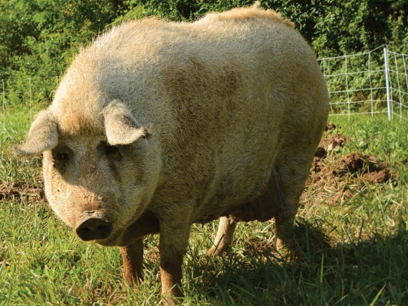 A sow pig basks in the morning light at Smoky Mountain Mangalitsa Farm in Haywood County. Holly Kays photos