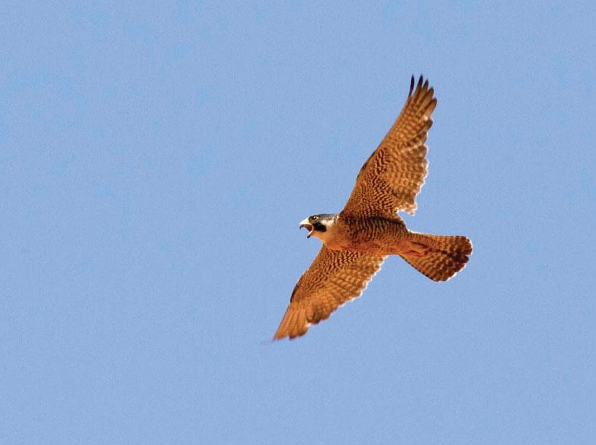 A peregrine falcon takes flight. National Park Service/Andrew Kuhn photo