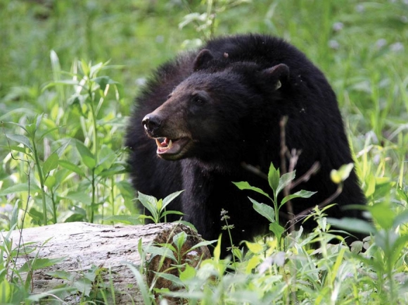Bear activity causes A.T. camping closure
