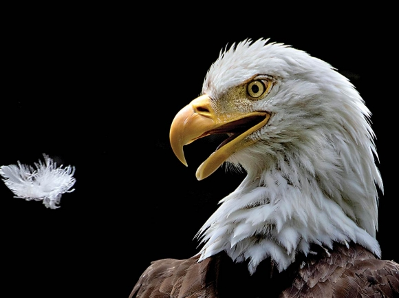 One of Grandfather Mountain's resident bald eagles was the subject of an award-winning photo from the 2019 Grandfather Mountain Nature Photography Weekend.  Ken Barrett/Grandfather Mountain  Stewardship Foundation photo