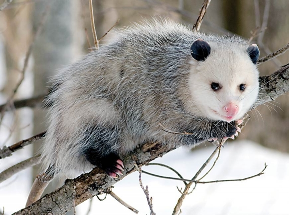 Possums are the ultimate survivalist