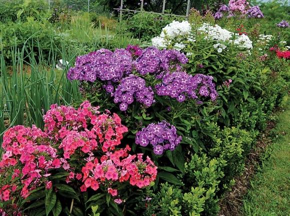 Garden Phlox. Donated photo