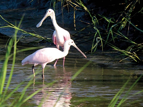 Roseate spoonbills at Isle of Palms. The lighter one in front is an immature. Don Hendershot photo