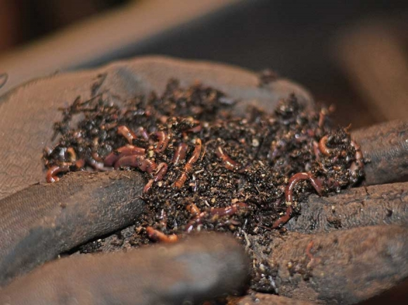 Valley View Farm is home to about 100,000 red wigglers. Holly Kays photo