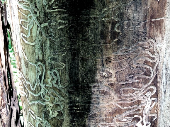 Emerald ash borer larvae create tunnels called 'galleries' as they chew through the tree's living tissue. Donated photo