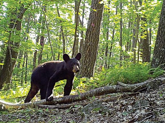 Bear activity halts tent camping at Mount Pisgah Campground