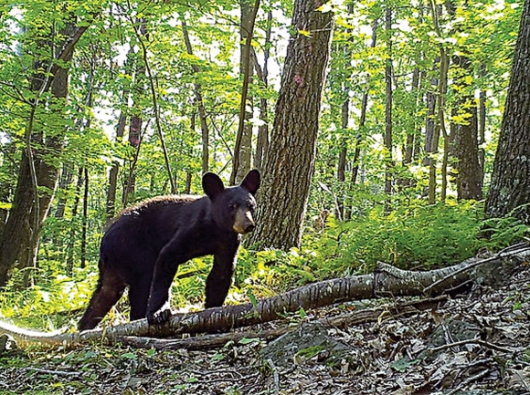 Bear encounters tend to happen more often in the late spring and early summer, before more nutritious food sources like nuts and berries are widely available. Donated photo