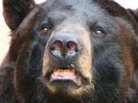 Park visitors cited for feeding bear peanut butter