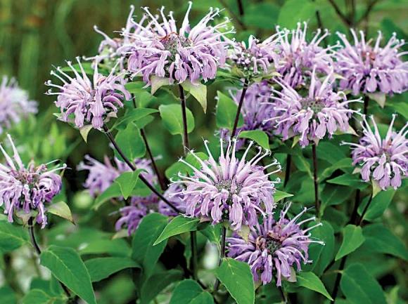 Wild bergamot. Donated photo