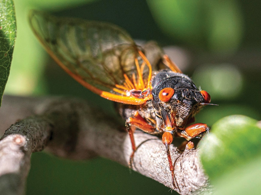 This cicada hatched in 2015 as part of Brood IV. It belongs to the species Magicicada cassinii, which is similar to, but distinct from, the Magicicada septendecim species that occurs in Western North Carolina. Greg Holmes photo
