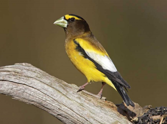 Evening Grosbeak. National Audubon Society photo