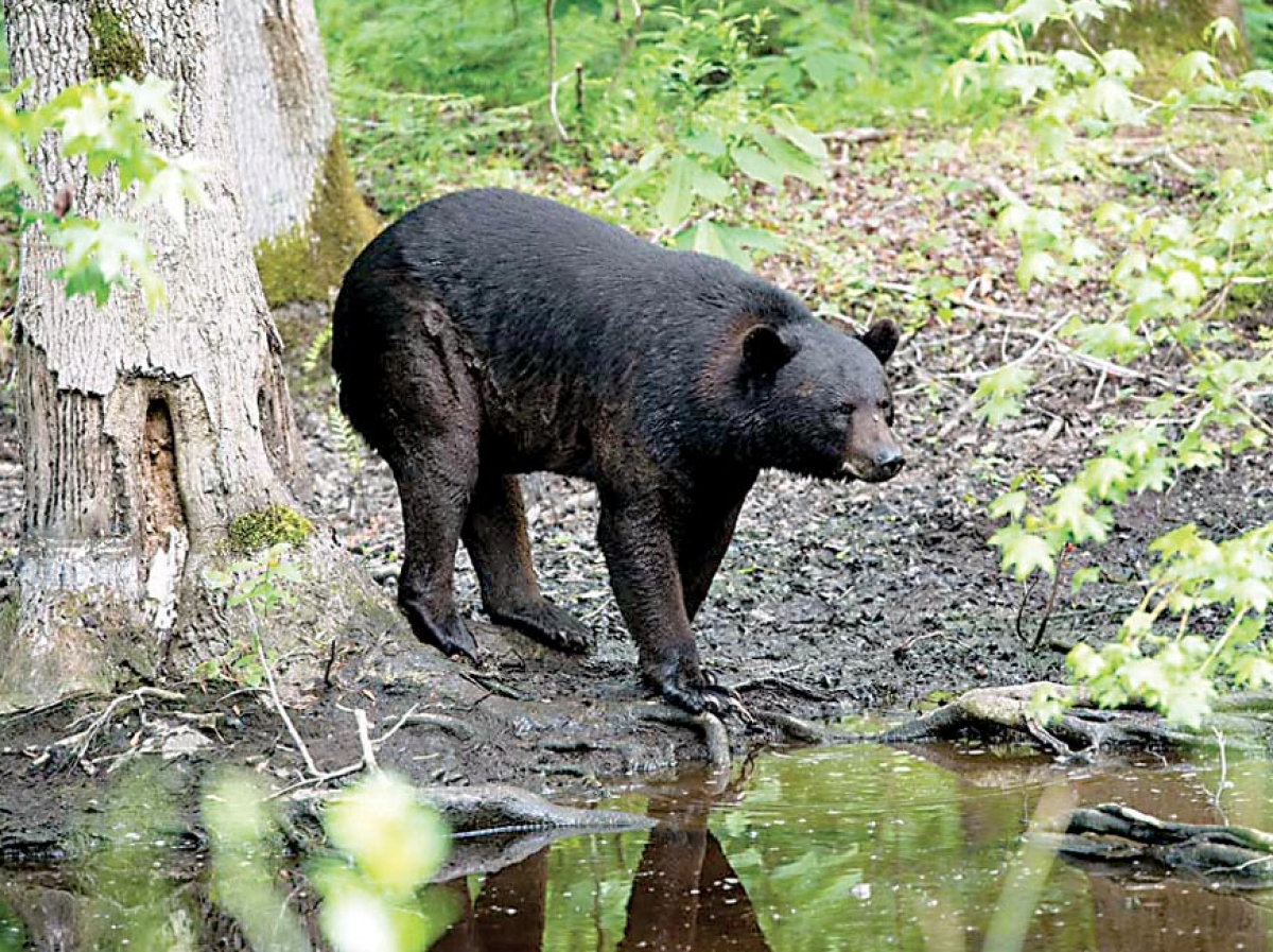 Bear attack injures two on the Blue Ridge Parkway