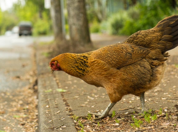 Chickens make a stand despite our efforts